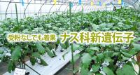 受粉なしでも着果する ナス科野菜の新遺伝子を発見