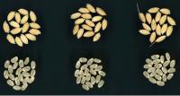 「コシヒカリ」よりも高評価の食味 早生で多収の極良食味米「つきあかり」を農研機構が開発
