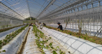 「おためし農業体験」で農業を知る ~西日本一、5.4haのイチゴハウス生産に挑戦する(株)ベリーろーど~